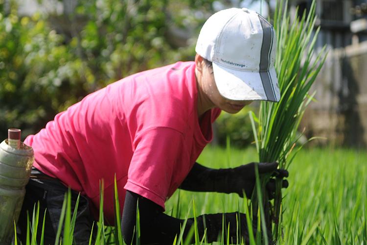 「共好米」農人在烈日下忙著補秧耕種。